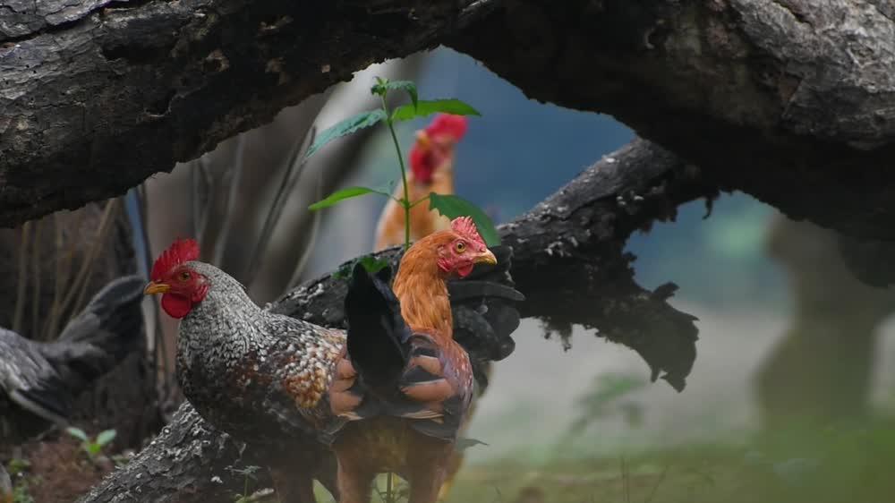 Ritual Chicken Sacrifice