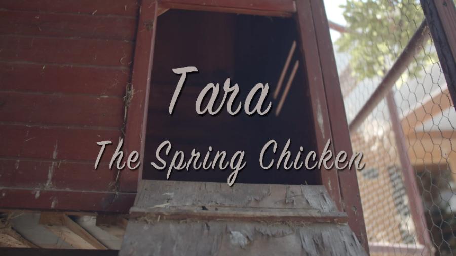 Tara, The Spring Chicken