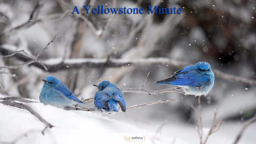 A Yellowstone Minute